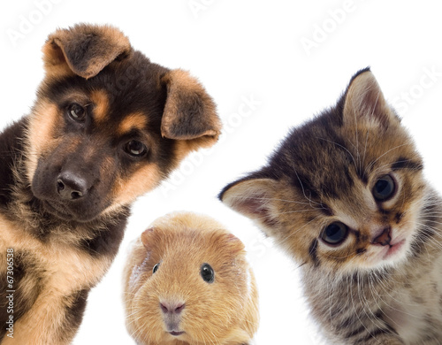 Fotobehang Hond Puppy and kitten and guinea pig