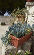 Italy, Sicily, succulent plants and sicilian stone walls