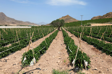Green paprika plantation in southern Spain