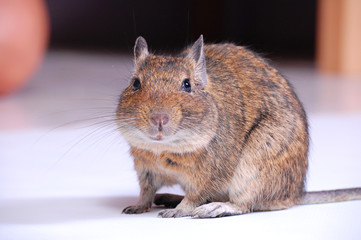 Common Degu or Brush-Tailed Rat