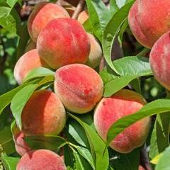 Pfirsiche - Malum Persicum