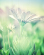 Soft focus of daisy field