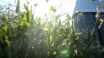 Harvesting peas field at sunset