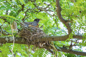 Adult Robin Sitting in Her Nest