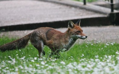 wild red fox in park running