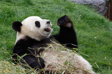 Panda bear eating