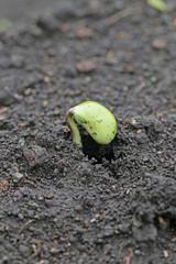 大豆の新芽