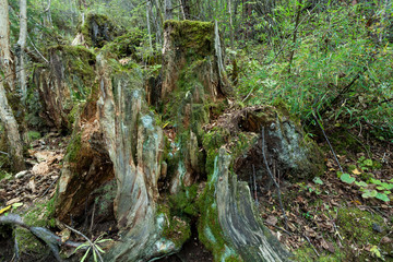 Tropical forests, moss on tree roots