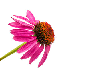 echinacea flower isolated