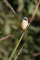 Grey-backed shrike bird in Nepal