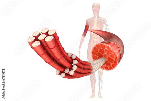 Leinwandbild Motiv Muscle Anatomy