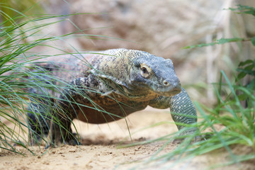 Komodo dragon walking