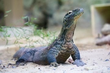 Komodo dragon at ground