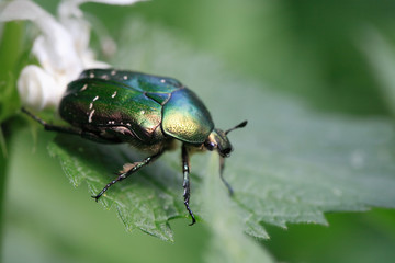 Green Beetle Macro