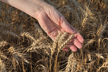 Agriculture, agronomist examine wheat field, hand and crop