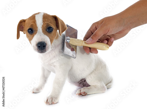 canvas print picture puppy jack russel terrier