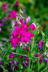 Preview wild meadow pea flowering period