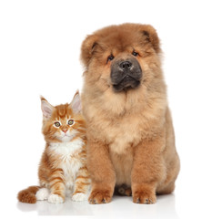 Maine Coon kitten and Chow Chow puppy
