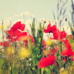 Vintage field of poppies