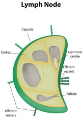 Lymph Node Labeled Diagram