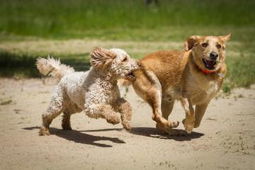 Labrador vs. Labradoodle
