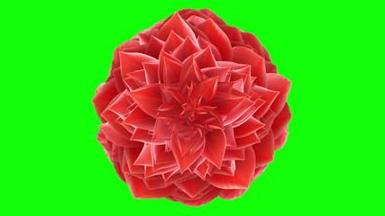 Opening Flower. Loop