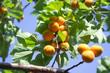 Apricot tree branch