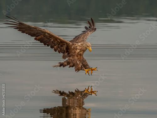 Fotobehang Eagle Seeadler