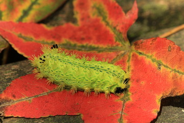 Caterpillar and maple leaf