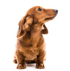 red dog breed dachshund