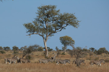 Herd of zebras in the bush