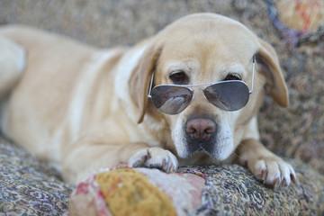 Nice Labrador retriever with sunglasses
