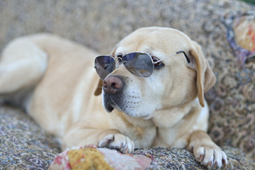 Nice Labrador retriever with sunglasses