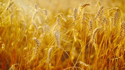 Wheat ears in Agricultural cultivated field. 1920x1080, full hd