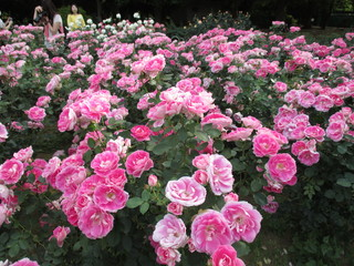 Rose pink that grow in clusters