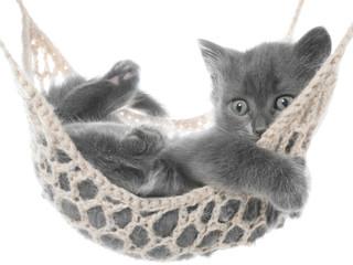 Cute gray kitten in hammock