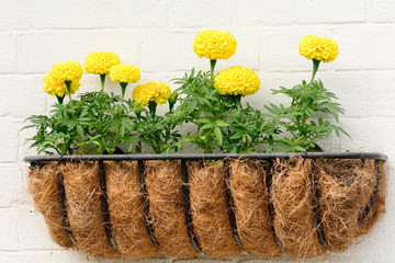 Yellow marigolds in wall basket