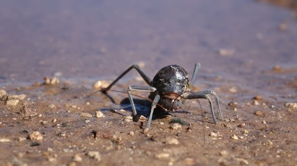 Close-up of an African Armoured ground cricket feeding