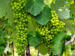 Green wine grapes swelling on the vine, vineyard detail.