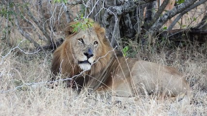A big male African lion resting under a bush