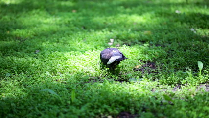 Pigeon is walking on meadow and eating some grass