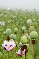 poppyhead green