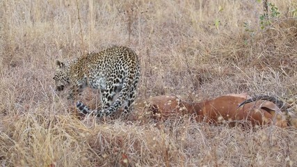 A leopard with its impala antelope prey