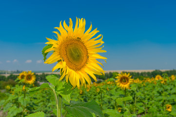 Beautiful sunflower at flowering time against blue sky