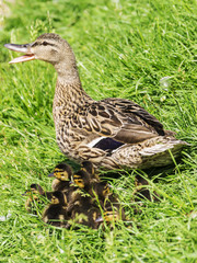 mother duck and ducklings in the grass