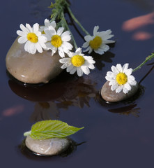Wet camomiles on stones for Spa
