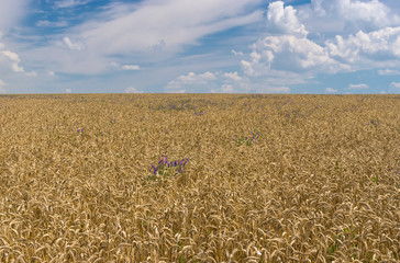 Ukrainian summer landscape with wheat field