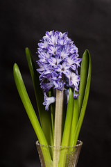 Blue hyacinth on black background