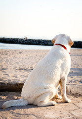 Labrador retriever dog looking at the sea and sky