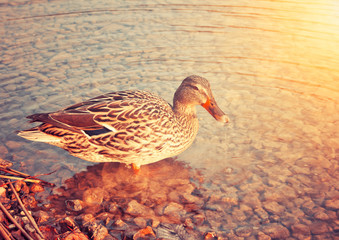 Ente im Sonnenuntergang